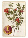 Punica granatum Giclée-Premiumdruck von Claude Aubriet