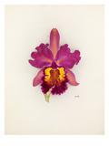Cattleya Gladiator gx (Cattleya dowiana × Cattleya Gladys) Giclee Print by Nellie Roberts