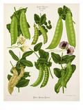 Tab XXIII Giclee Print by Ernst Benary