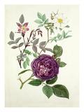 Rosa glauca, Rosa fedtschenkoana, Rosa Reine des violettes Premium Giclee Print by Graham Stuart Thomas