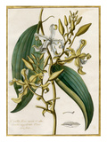 Vanilla flore viridi et albo Giclee Print by Claude Aubriet