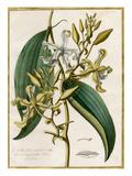 Vanilla flore viridi et albo Premium Giclee Print by Claude Aubriet