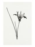 Iris pumila Giclee Print by Graham Stuart Thomas
