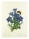Gentiane sans tige: Gentiana acaulis Giclee Print by  Langlois