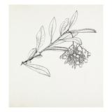 Arbutus unedo Giclee Print by Graham Stuart Thomas