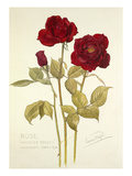Rose Hoosier Beauty Giclee Print by Laurence Stanley Perugini
