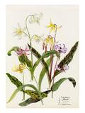 Erythronium hendersoni, Erythronium johnstoni, Erythronium revolutinum, Erythronium hartwegi, Eryth Giclee Print by Lilian Snelling