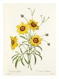 Corcopsis élégant: Corcopsis eleganus Giclee Print by  Langlois