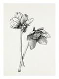 Helleborus niger Giclée-Druck von Graham Stuart Thomas