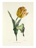Tulipe Impression giclée par Charles Joseph Hullmandel