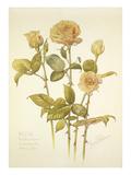 Rose Roselandia Hoddeston Giclee Print by Laurence Stanley Perugini