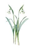 Galanthus nivalis maximus of van Tubergen Giclee Print by Edward Augustus Bowles