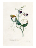 Lathyrus distoplatuphyllus hirsutus mollis Giclee Print by Georg Dionysius Ehret