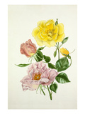 Rosa Lawrence Johnstone, Rosa Cupid Giclee Print by Graham Stuart Thomas