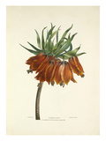 Imperial Lily Giclee Print by Charles Joseph Hullmandel