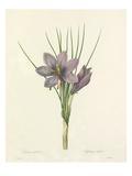 Crocus sativus: Safran cultive Giclee Print by  Langlois