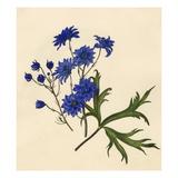 Dianthus caryophyllus: Gardenia jasminoides Giclee Print by Caroline Maria Applebee