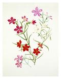 Phlox mesoleuca Arroyo, Phlox mesoleuca Mary Maslin, Phlox nana Giclee Print by Graham Stuart Thomas