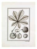 Hippocastanum vulgare Giclee Print by Claude Aubriet