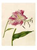 Lilium speciosum Giclee Print by Caroline Maria Applebee