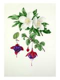 Eucryphia × nymansensis, Fuchsia Mount Stewart Giclee Print by Graham Stuart Thomas