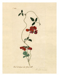 Kennedia coccinea Giclee Print by Charles Curtis