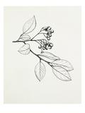 Cotoneaster glaucophyllus Reproduction procédé giclée par Graham Stuart Thomas