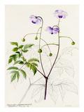 Anemonopsis macrophylla Reproduction procédé giclée par Lilian Snelling