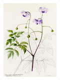 Anemonopsis macrophylla Giclee Print by Lilian Snelling