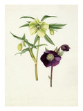 Helleborus Bowless yellow, Helleborus atrorubens Giclee Print by Graham Stuart Thomas