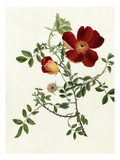 Rosa foetida Bicolor Giclee Print by Emma Smith
