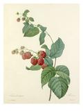Framboisier: Rubus Impression giclée par  Langlois