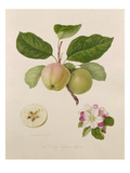 The Early Russian Apple Giclee Print by William Hooker