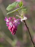 Ribes sanguineum Atrorubens Photographic Print by Carol Sheppard