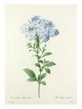 Dentelaire bleu-ciel: Plumbago caerulea Reproduction procédé giclée par Joseph Marie Bessin