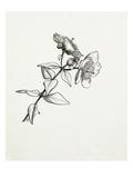 Hypericum forrestii Giclee Print by Graham Stuart Thomas