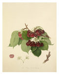 The May Duke Cherry Giclee Print by William Hooker