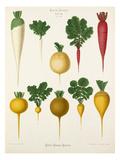 Tab VIII Premium Giclee Print by Ernst Benary
