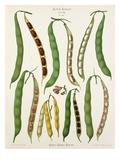 Tab VII, Album II Giclee Print by Ernst Benary