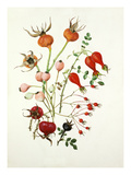 Rose hips Giclee Print by Graham Stuart Thomas