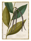 Vanilla flore viridi et albo,fructa nigrescente Plumer cum fructa Giclee Print by Claude Aubriet
