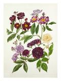 Rosa Violette, Rosa Veilchenblau, Rosa Rose-Marie Viaud, Rosa Bleu Magenta, Rosa Goldfinch Giclee Print by Graham Stuart Thomas