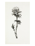 Adonis volgensis Premium Giclee Print by Graham Stuart Thomas