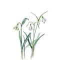 Galanthus nivalis sharlokii Giclee Print by Edward Augustus Bowles