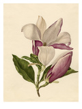 Magnolia officinalis Giclee Print by Caroline Maria Applebee