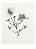 Rhododendron dauricum Reproduction procédé giclée par Graham Stuart Thomas