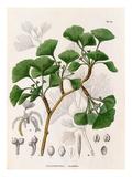 Salisburia adianthifolia Reproduction procédé giclée par  de Siebold