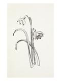 Leucojum vernum Giclee Print by Graham Stuart Thomas