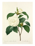 Camellia fleurs blanches: Camellia Japonica Premium Giclee Print by  Langlois