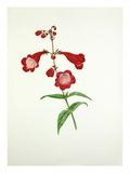 Penstemon Rubicundus Premium Giclee Print by Graham Stuart Thomas